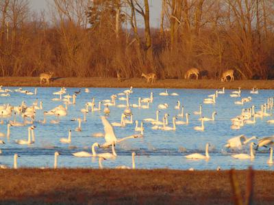 Tundra Swans and White Tail Deer