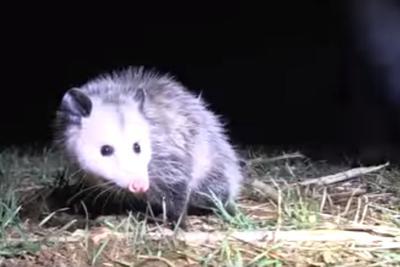 Possum on a lawn