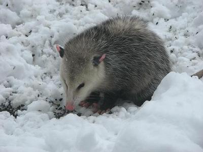 Possum in Winter