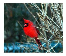 male cardinal in winter on a tree