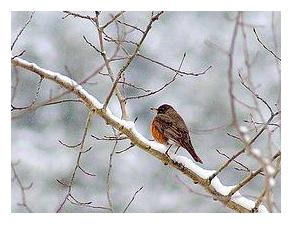 North American Robin in snow