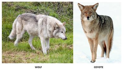 Wolf and Coyote