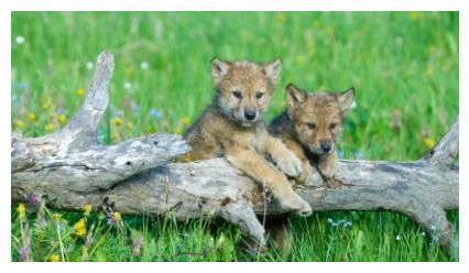 Grey Wolf cubs on a log - petits loups