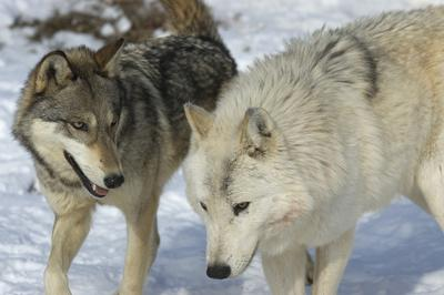 Wolf sightings in Ottawa, Ontario