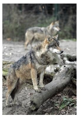 Two Grey Wolves or Timber Wolves standing on a log