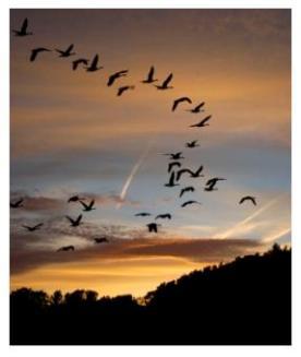 Jack Miner - geese