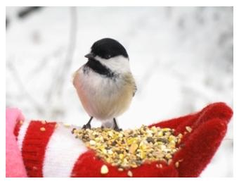 chickadee eating bird seed from a hand with red mittens in the snow