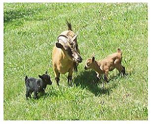 Daisy and Demi pygmy goat twins