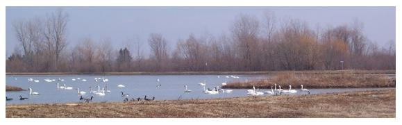 Tundra Swans at the  Wildlife Management Area, Hacienda Road, Aylmer