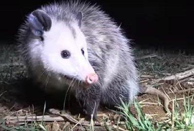 a fine looking possum