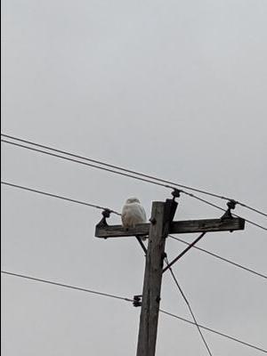 Snowy Owl male on telephone pole