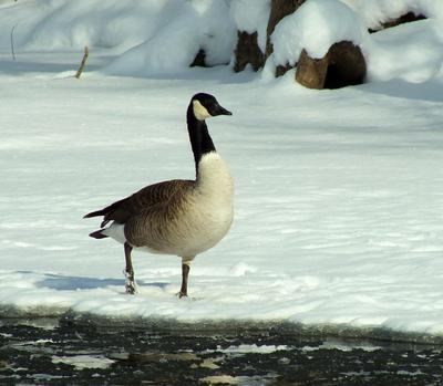 Wild Canada Geese in Georgetown Ontario