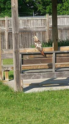 a visit from this bird of prey - red tailed hawk