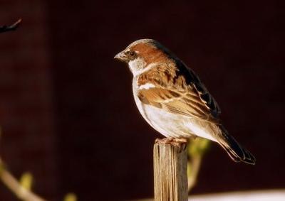 Sparrow - last rays of the sun