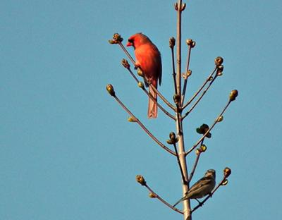 Easter Morning Cardinal