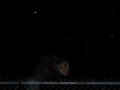 Possum in the night