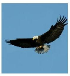 Bald Eagle in Flight, showing white head and tail