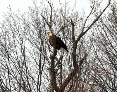 Bald Eagle - London, Ontario