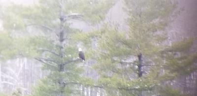 Bald Eagle in Verona, Ontario