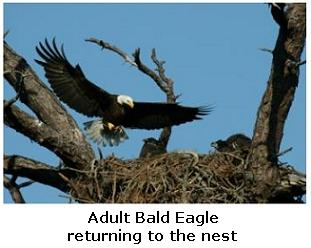 Bald Eagle's Nest with eaglets in the nest