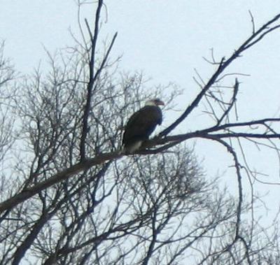 Bald Eagle, Ontario