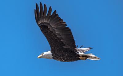 Bald Eagles sighted across Ontario