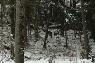 Dec 27/12 Wolf through our window, first seen 10 ft from our front porch