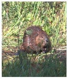 Canadian Beaver beside a pond