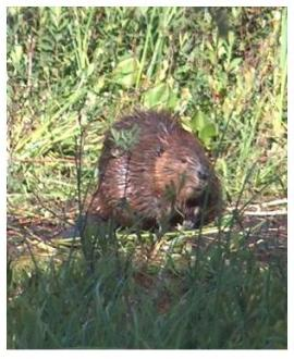 Canadian Beaver at the side of the beaver pond