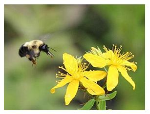 Bee - Canadian Animals