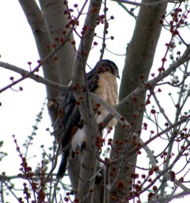 Possible Broad Winged Hawk