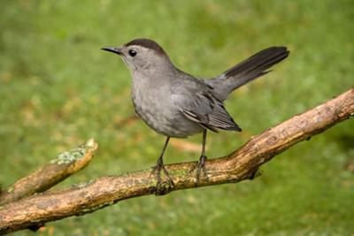 The Catbird in Ontario
