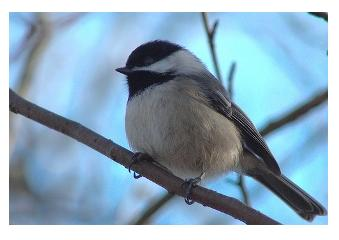 The Cheerful Chickadee on a branch in Ontario