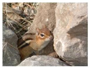 The Eastern Chipmunk of Ontario living in a rock pile