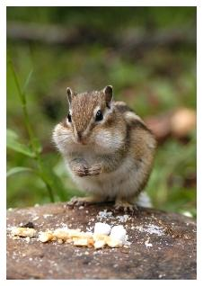 Chipmunk stuffing his cheeks with food