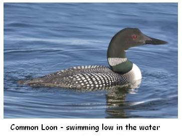 Le Houard - Loon in water, Great Northern Diver on a lake