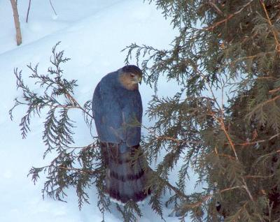 Coopers Hawk in tree in winter with snow on ground
