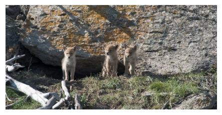 Young Coyote cubs against a background of rocks