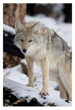 Coyote in Ontario standing on snow in forest