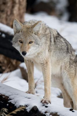 Southern Ontario Coyote