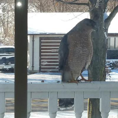Mr Hawk in Bayham