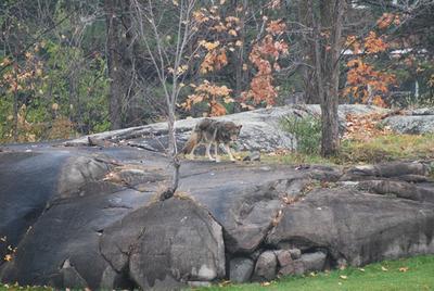 Wolf sighting - Kanata Golf Club