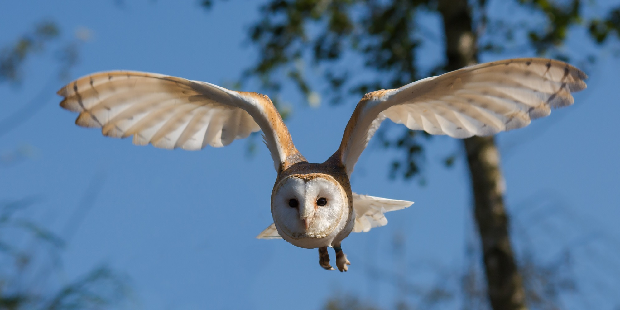 Barn Owl in flight with sky background