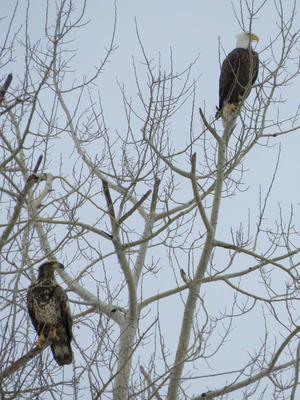 Eagles in Perth County, Ontario