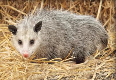 2017 Summer Ontario Possum
