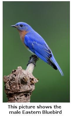 beautiful Eastern Bluebird - Male, Ontario, Canada