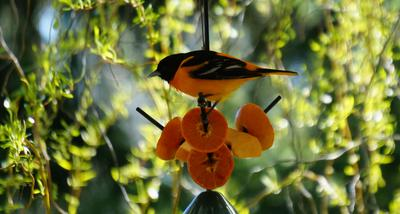 The Oriole in Ontario