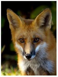 Fox - Canadian Animals