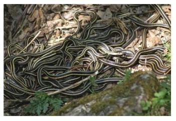 A hibernaculum of garter snakes in the spring when they are waking up