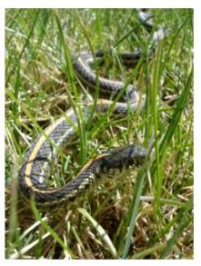 Common Garter Snake in the grass, Ontario